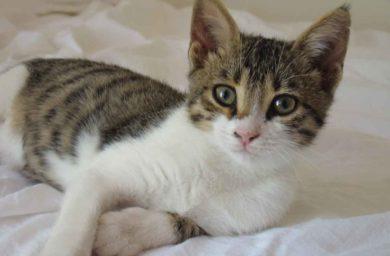 Бразильская короткошерстная кошка – фото