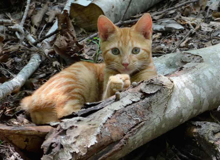 Бразильская порода кошек – фото