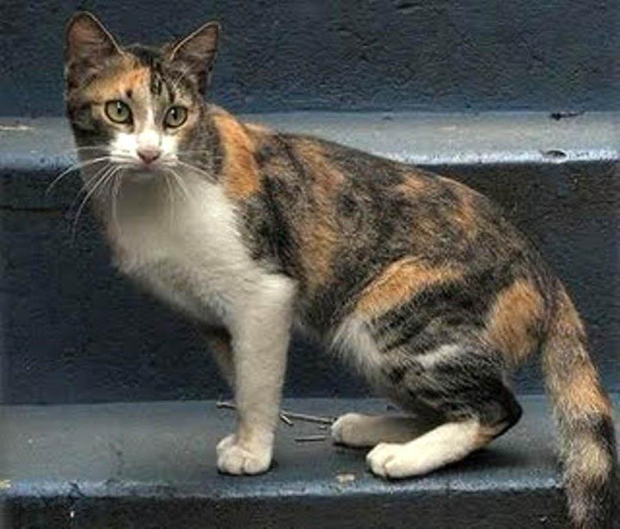 Бразильский кот – фото