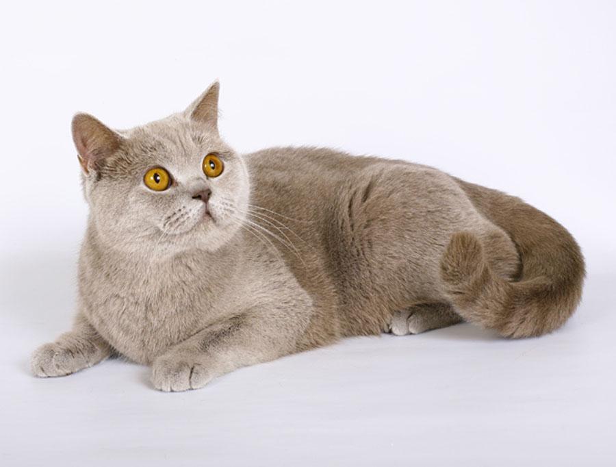 Британская кошка: история породы