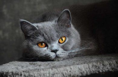 Британская кошка: история происхождения