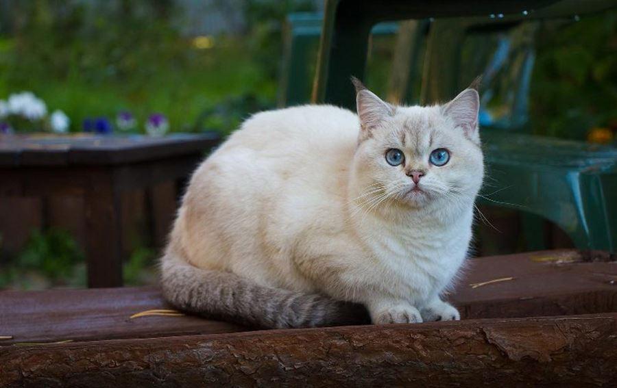Британская кошка с голубыми глазами