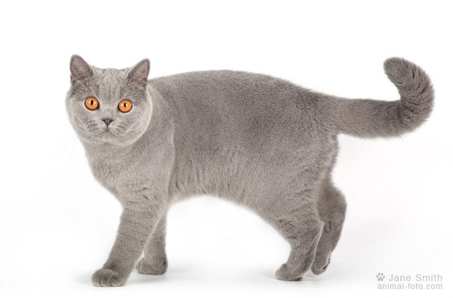 Отличия британского и шотландского кота: фото британца