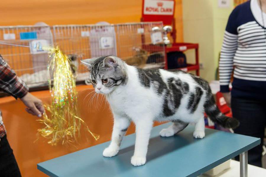 Отличия британского и шотландского кота: фото шотландца