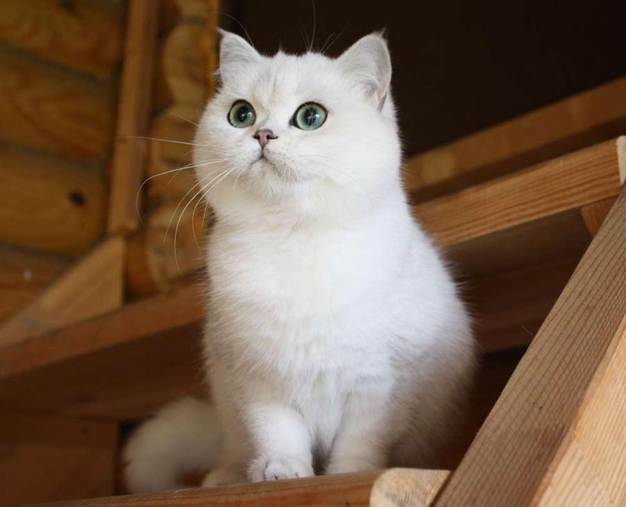 Британский кот с зелеными глазами