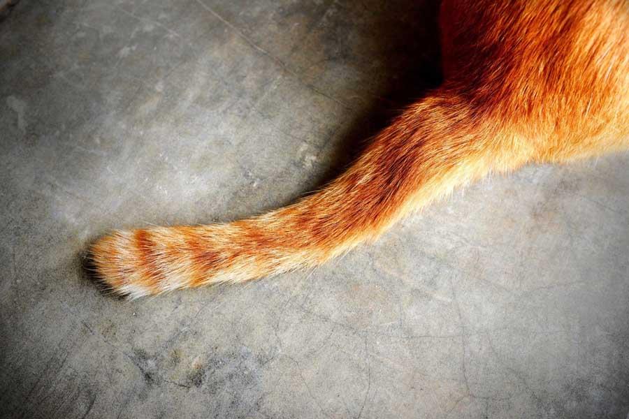Чем опасно дергать кошку за хвост