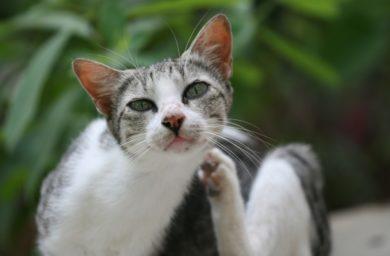 Чем опасны блохи у кошек