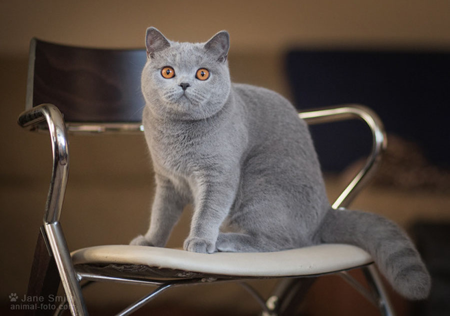 Чем отличаются британские кошки от шотландских: фото британца