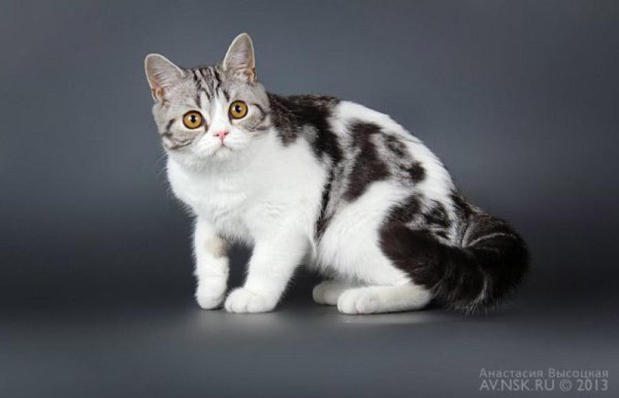 Чем отличаются британские кошки от шотландских: фото шотландца