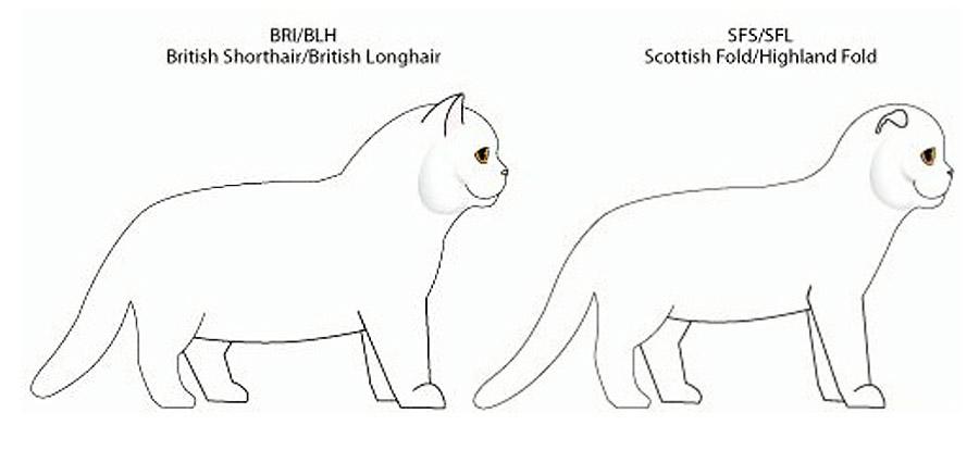 Чем отличаются британские кошки от шотландских: фото