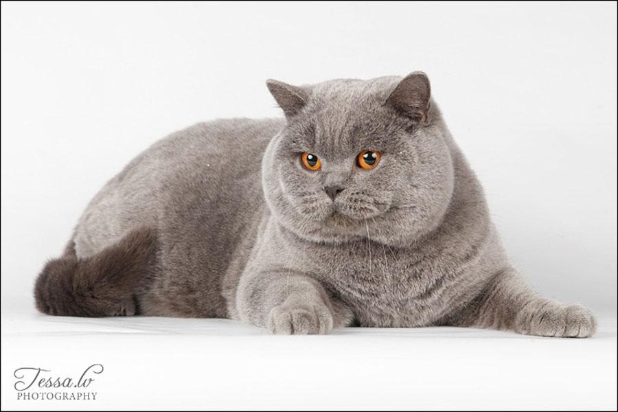 Чем отличаются британские коты от шотландских: фото британца