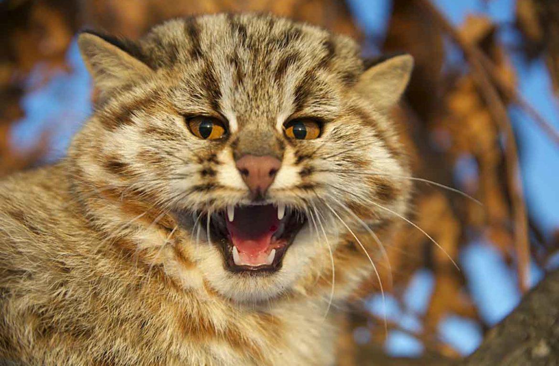 Чем питается амурский лесной кот?