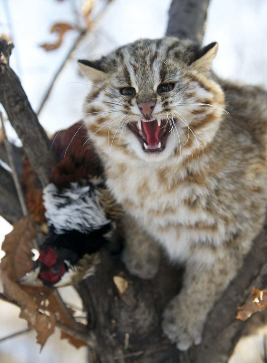 Чем питается амурский лесной кот