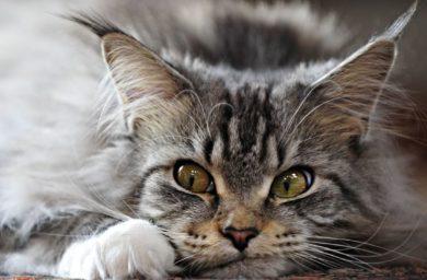Чем промыть глаза коту от гноя