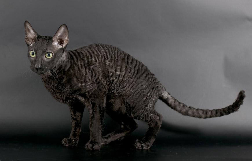 Чёрная кошка с зелёными глазами: порода