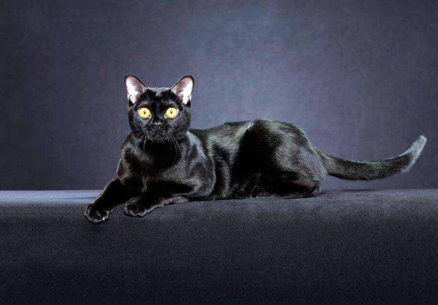 Черный бомбейский кот