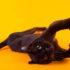 Чёрный леопард, бомбейский кот и многое другое