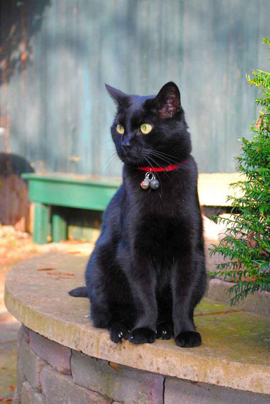 Черный кот породы бомбей
