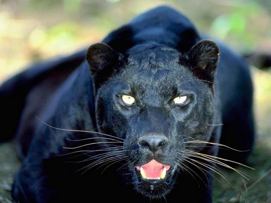 Черный домашний леопард