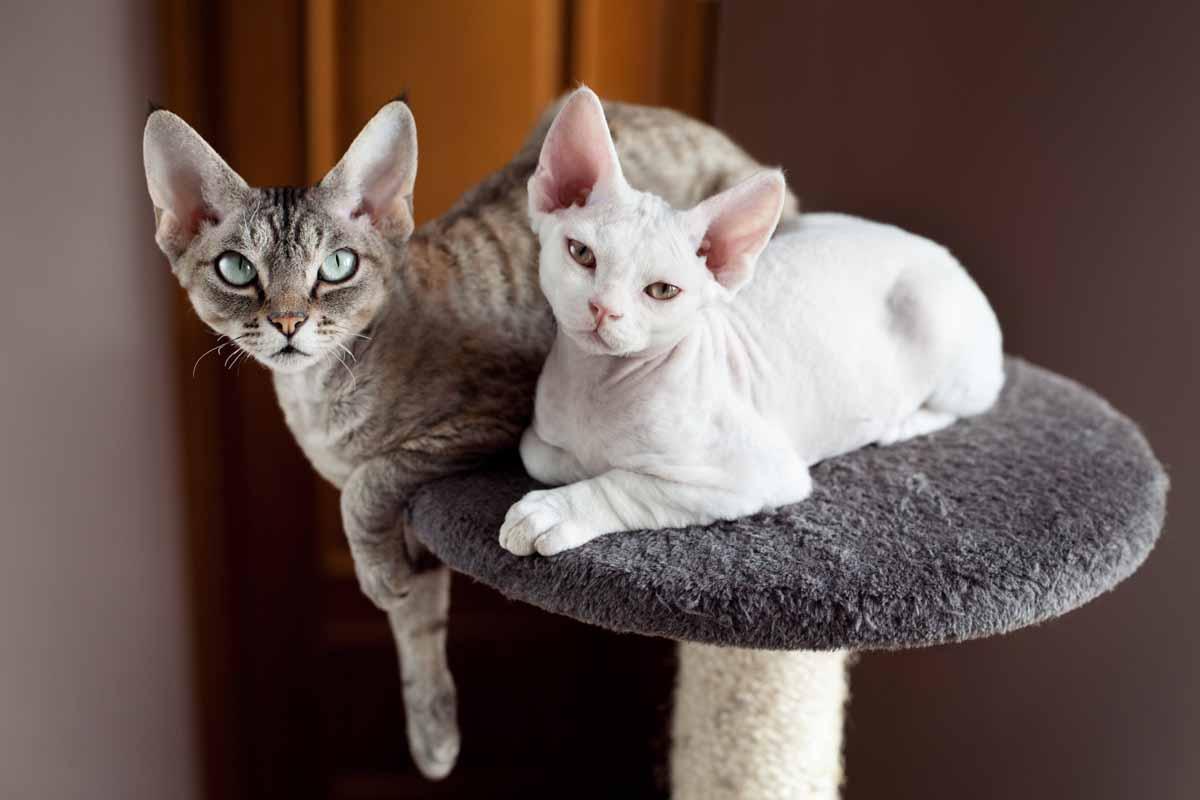 Купить в Москве кошку девон-рекс