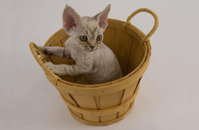 Купание девон-рексов: как мыть кудрявых кошек