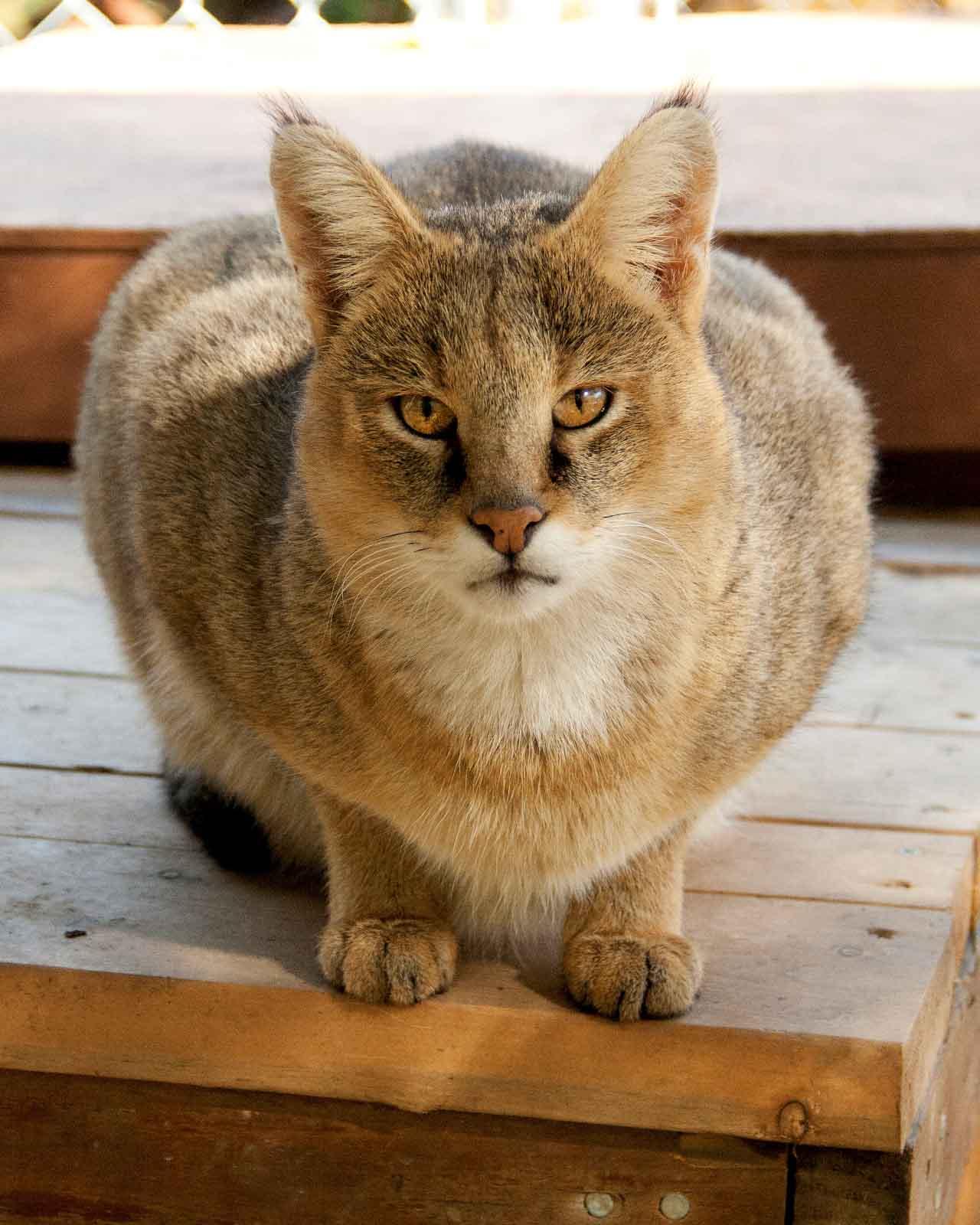 Дикая камышовая кошка