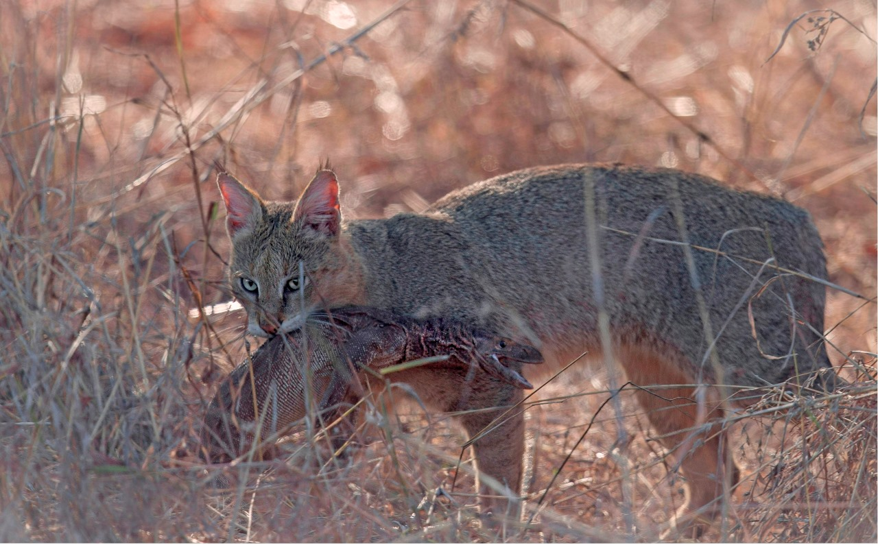 Дикий камышовый кот: фото