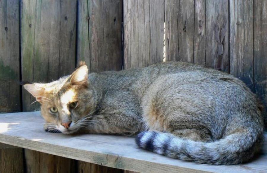 Домашний камышовый кот чауси