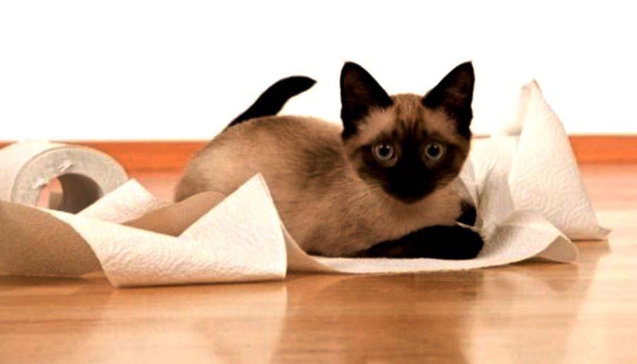 Дисбактериоз у кошки, чем лечить