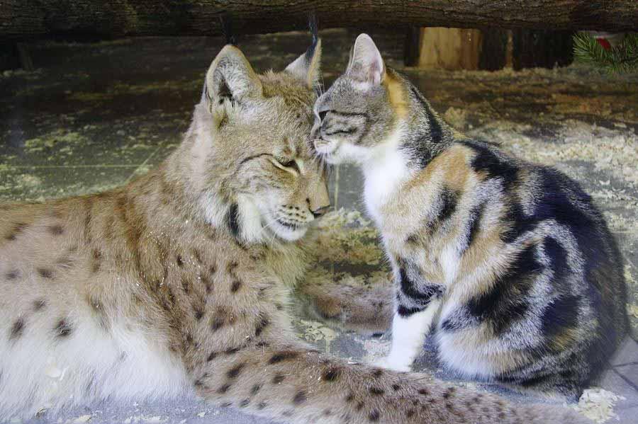 Долголетие кошек
