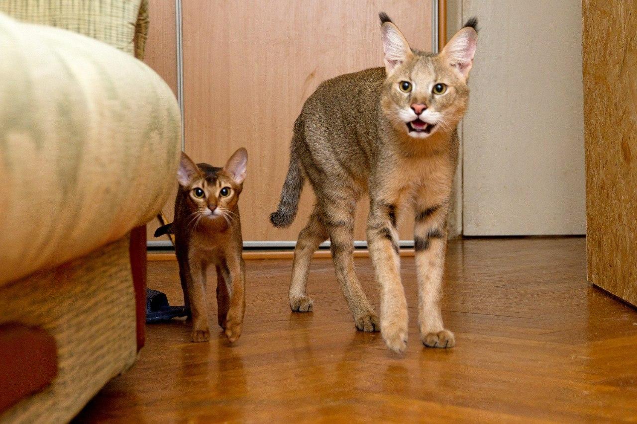 Домашний камышовый кот: фото