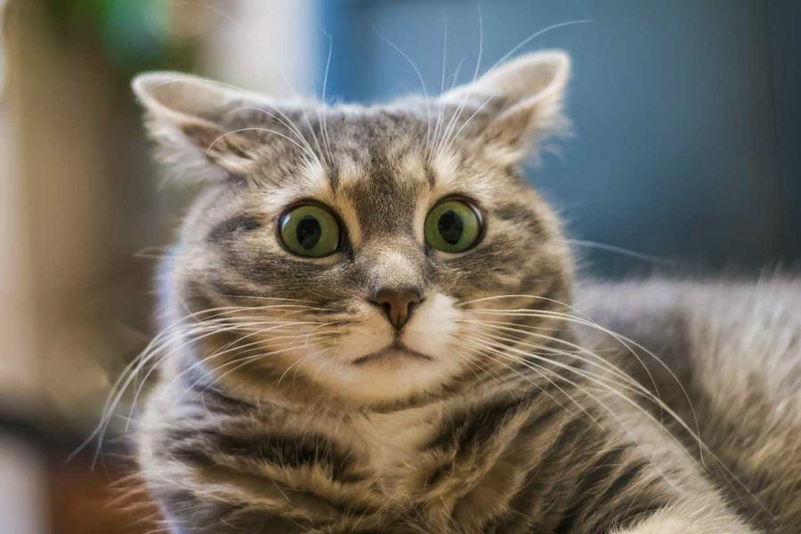 Движения ушами у кошек