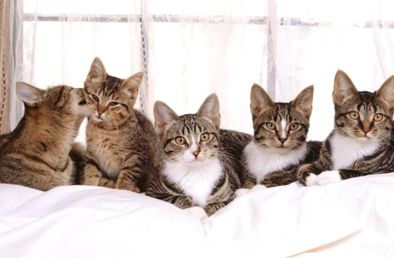 Учимся понимать сигналы кошек – 5 самых частых движений ушами