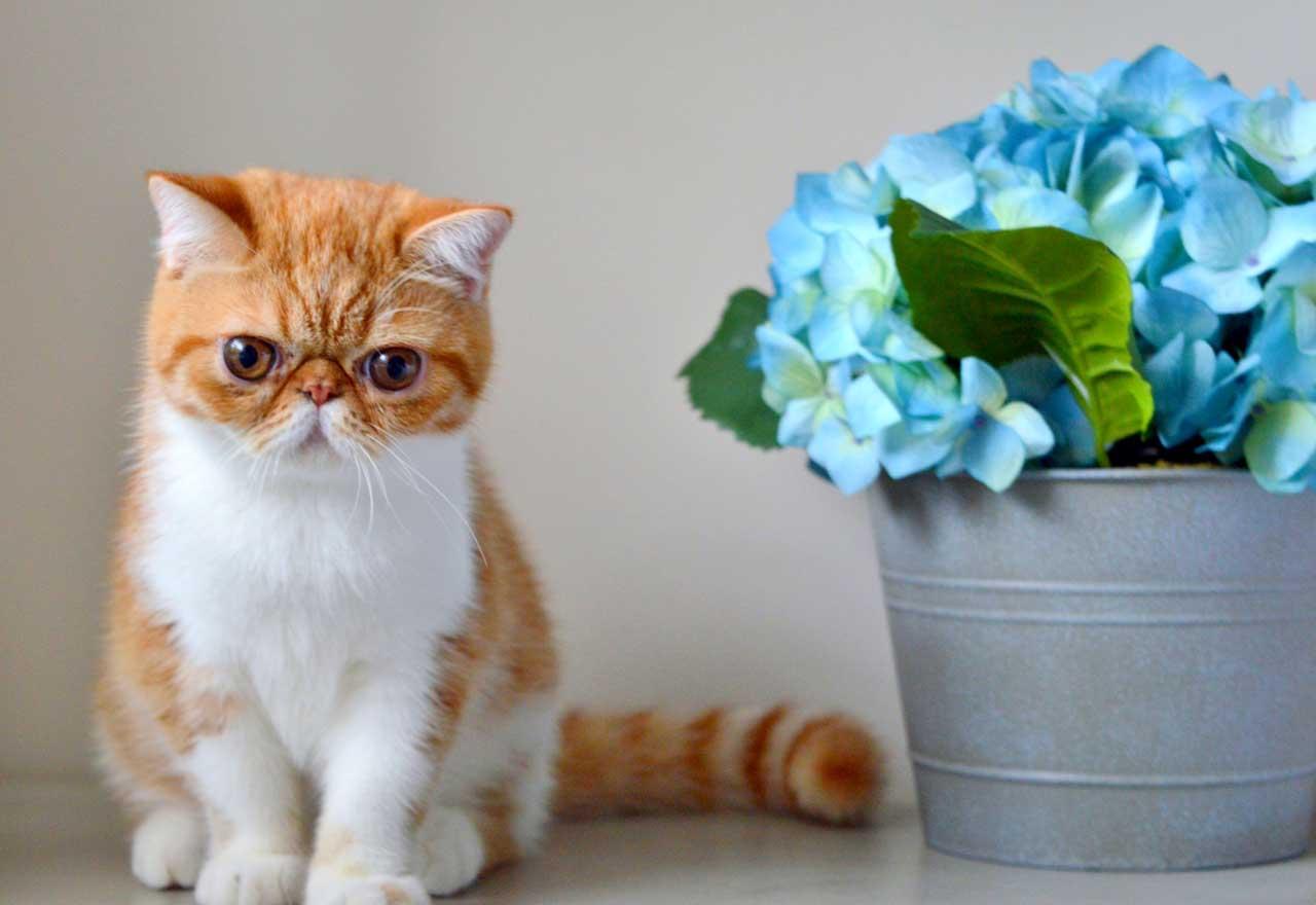 Экзотическая короткошерстная кошка экзот