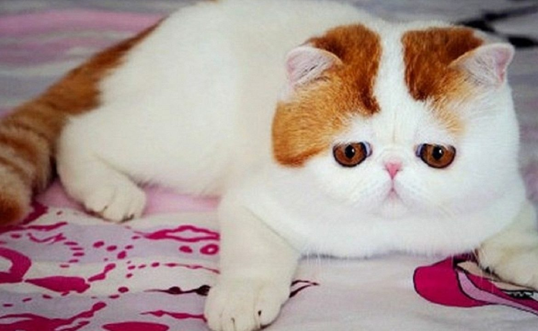 Фото экзотический короткошерстный кот