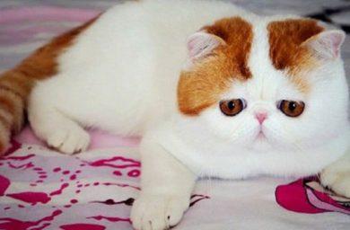 Экзотическая короткошерстная кошка Снупи