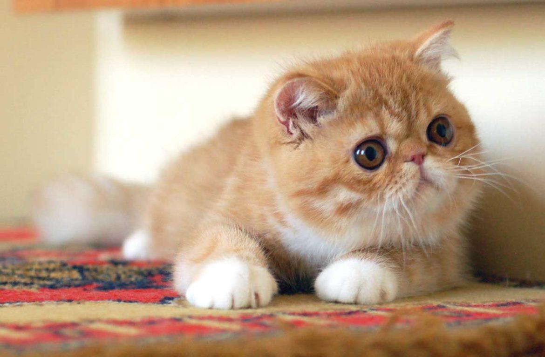 Экзотические короткошерстные котята: малыши хороши!