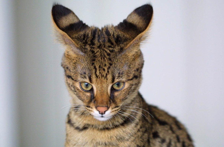 Удивительные питомцы любителей эпатажа: экзотические породы кошек