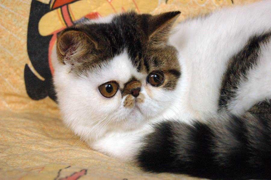 Экзотический короткошерстный кот