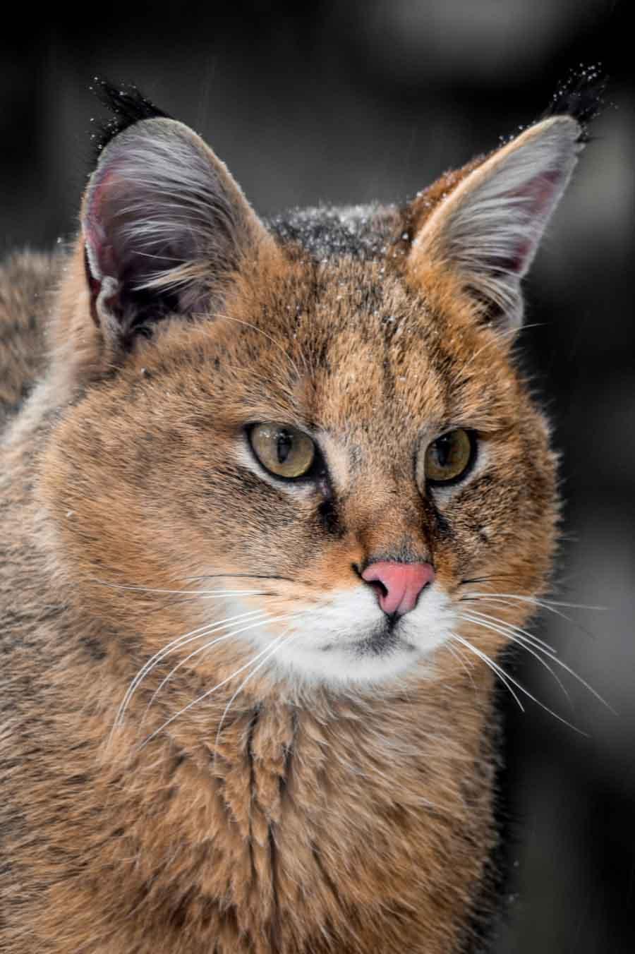 Фото камышовой кошки