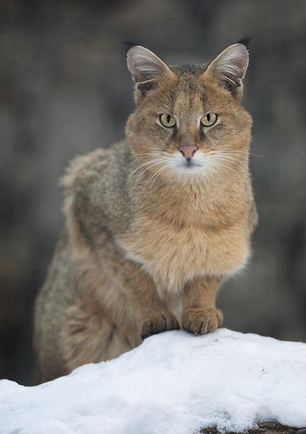 Фотографии камышового кота
