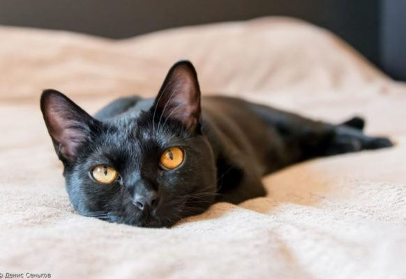 Фото бомбейских кошек