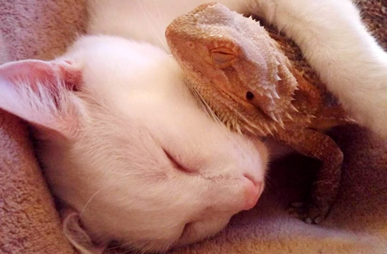 Кот и ящерица – лучшие друзья! Смотрите их забавные фото и видео