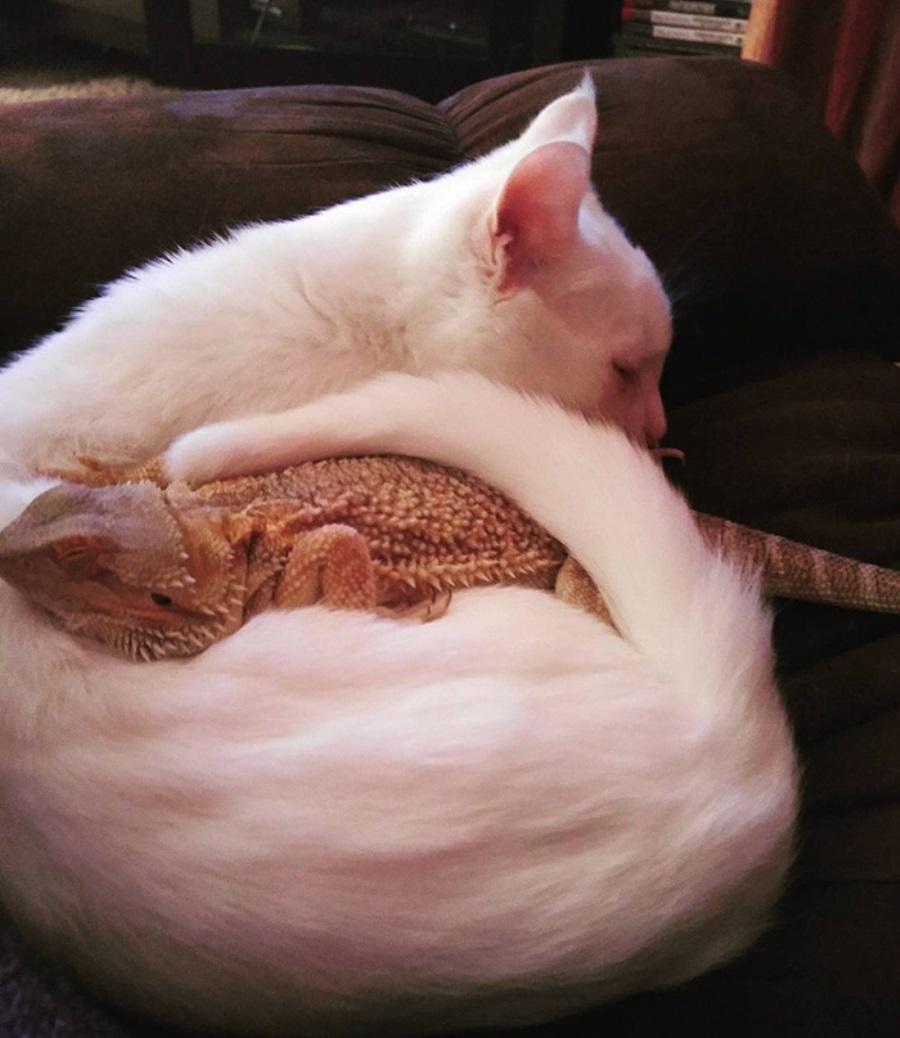 Фото кот и ящерица