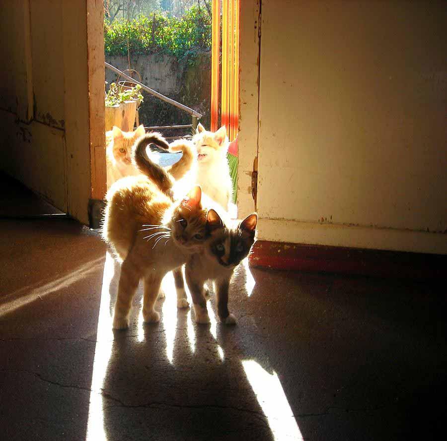 Фото влюбленных кошек