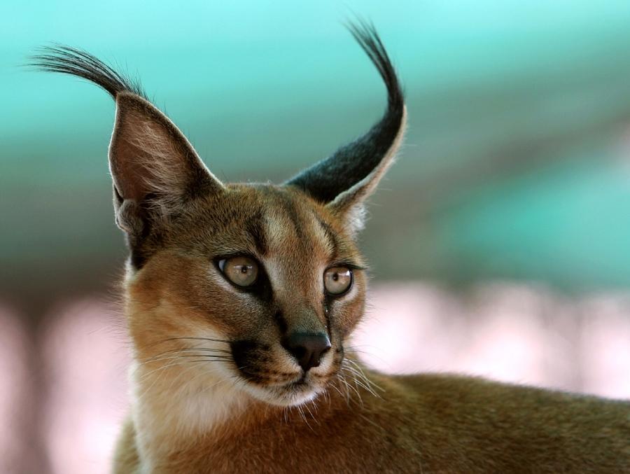 Фотографии экзотических кошек