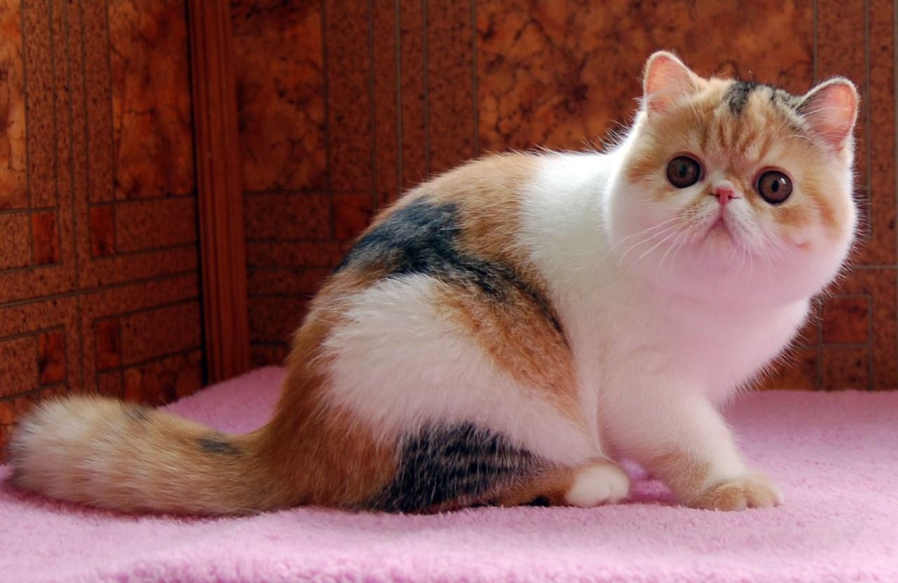 Имя для экзотического кота