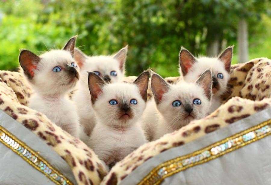Фотографии тайских кошек