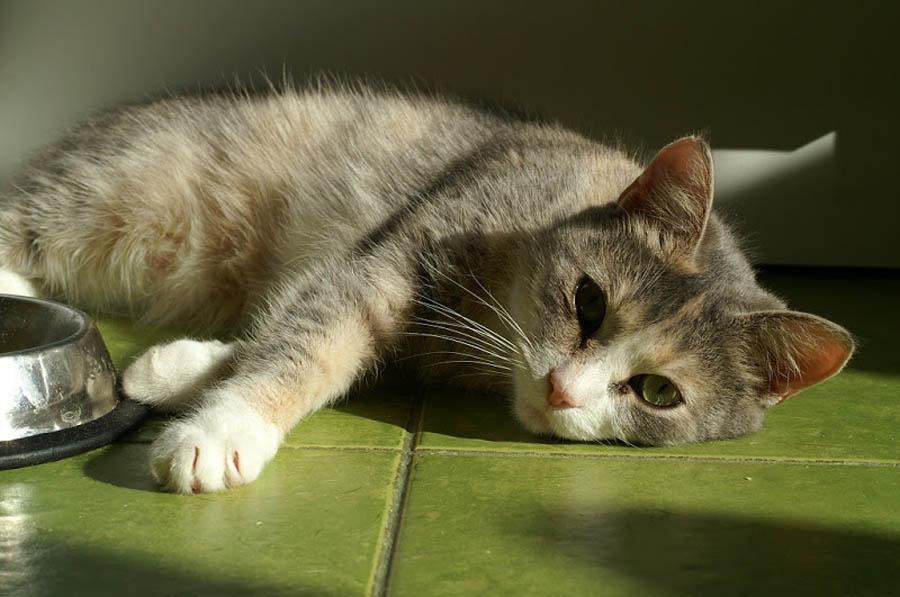 Симптомы и лечение гастрита у кошек