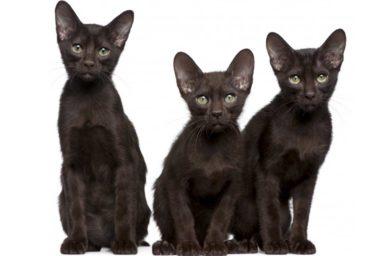 Котята гавана браун